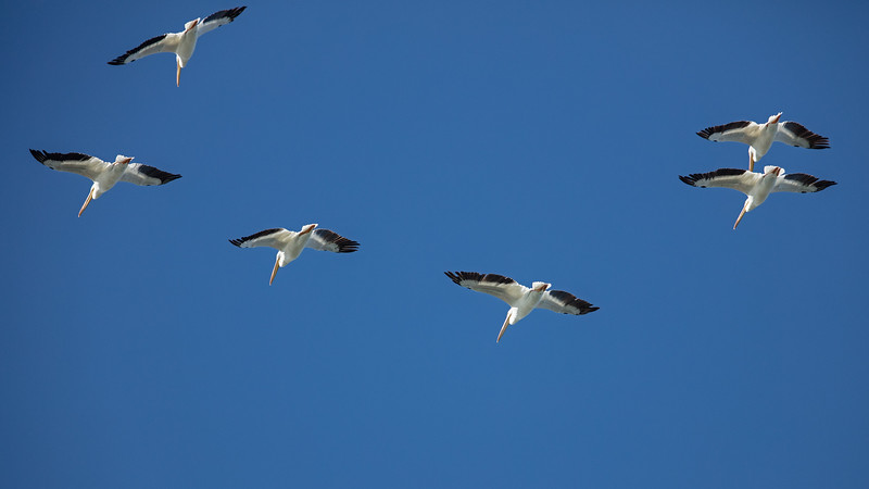six white pelicans in flight