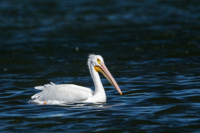 splendid white pelican