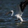 backlit white pelican splashing down