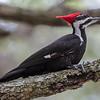 pileated woodpecker St Petersburg