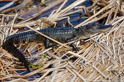 baby alligator full length