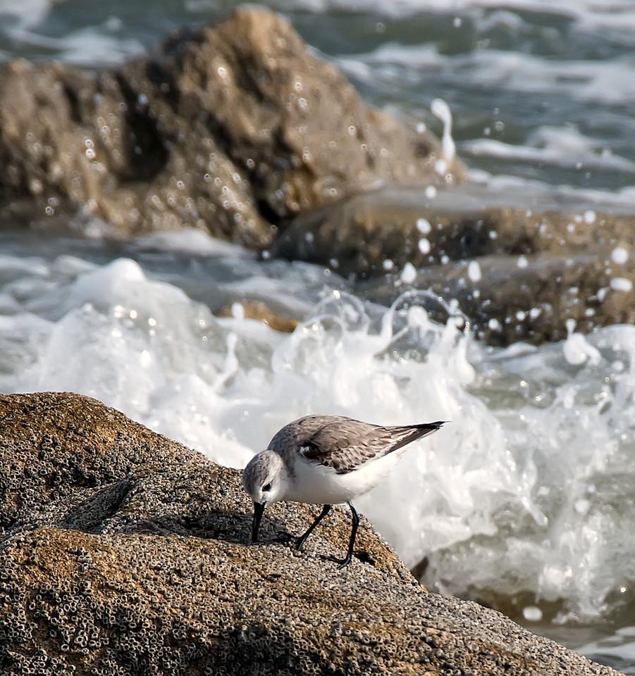 Sanderling on Rocks