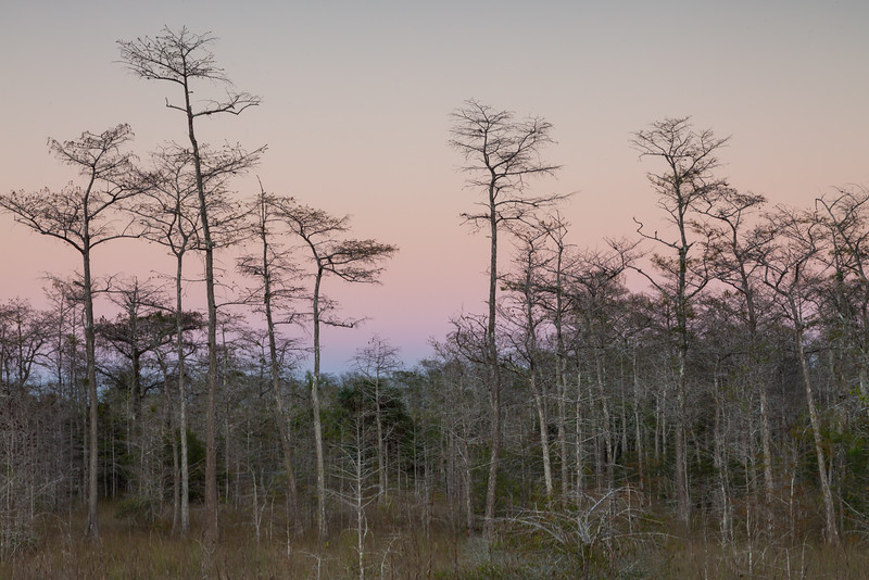Cypress trees at dusk. Big Cypress National Preserve, FL<br /> <br /> FL-111230-0051