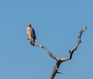 Red-shouldered Hawk (South Florida race), Green Cay Nature Center, FL