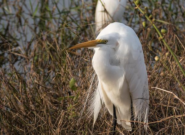Great Egret (breeding plummage)