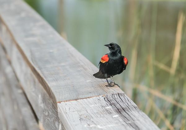 Red-winged Blackbird, Green Cay Nature Center, FL