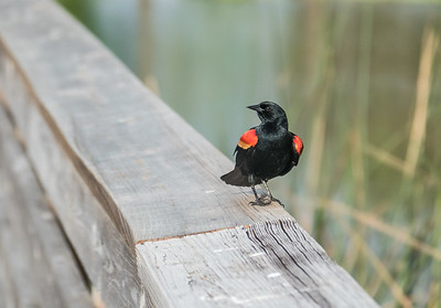 Red-winged Blackbird, Green Cay Nature Center, FL