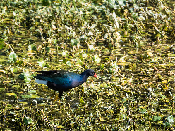 Purple Gallinule, Green Cay Nature Center, FL