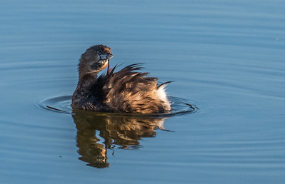 Pied-billed Grebe (breeding plumage), Green Cay Nature Center, FL