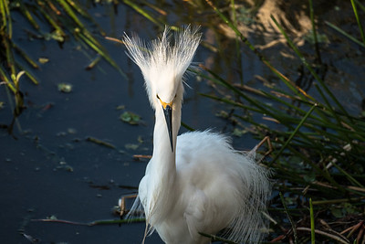 Snowy Egret (displaying), Green Cay Nature Center, FL