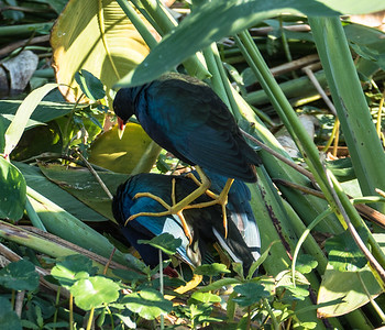 Purple Gallinules mating, Green Cay Nature Center, FL