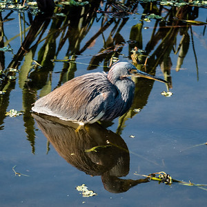 Tricolored Heron, Green Cay Nature Center, FL