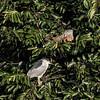 Green Iguana & Black-crowned Night-heron