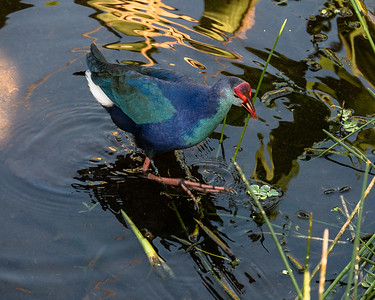 Gray-Headed Swamphen, Green Cay Nature Center, FL