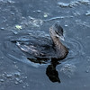 Pied-billed Grebe (juvenile)
