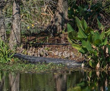 American Alligator, Green Cay Nature Center, FL