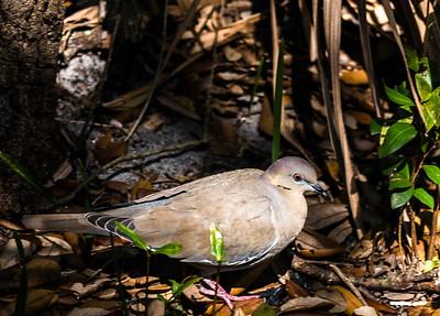 White-winged Dove, Green Cay Nature Center, FL