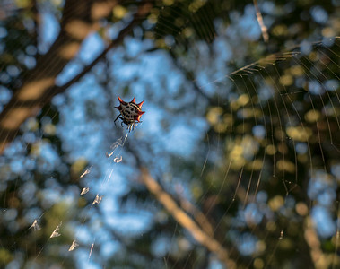 Crablike Spiny Orb Weaver Spider (Gasteracantha  cancriformis)