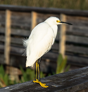 Snowy Egret, Green Cay Nature Center, FL