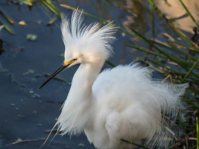 Snowy Egret (displaying)