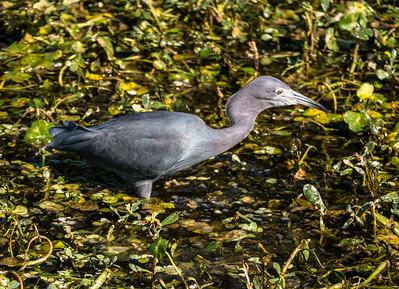 Little Blue Heron, Green Cay Nature Center, FL