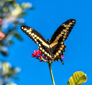 Gaint Swallowtail
