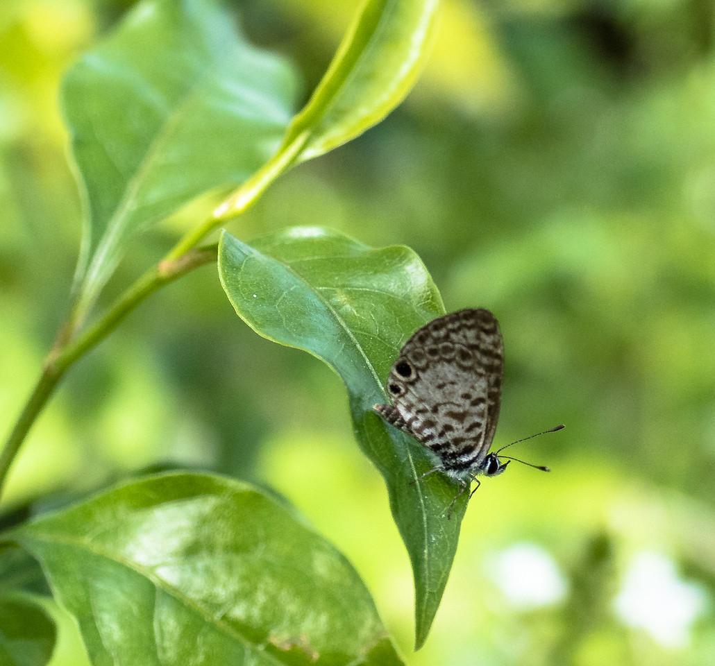 Cassius Blue, Gumbo Limbo Nature Center, FL