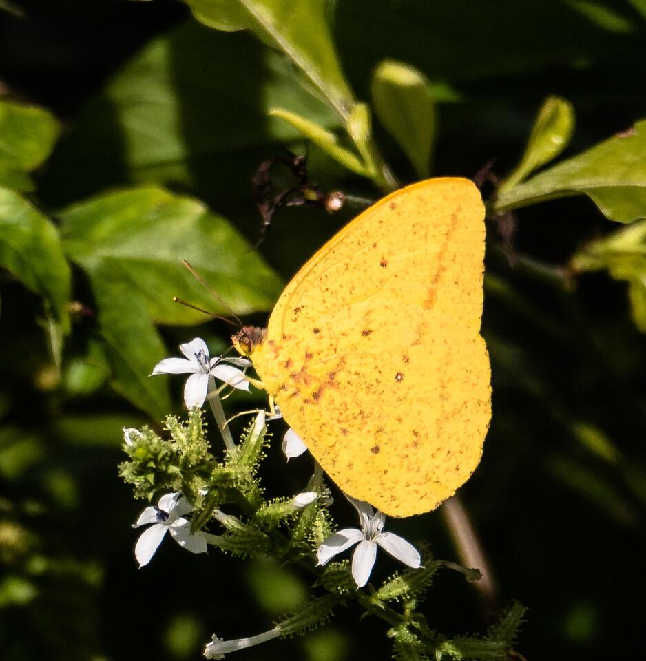 Large Orange Sulphur, Gumbo Limbo Nature Center, FL
