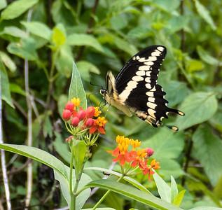 Giant Swallowtail, Gumbo Limbo Nature Center, FL