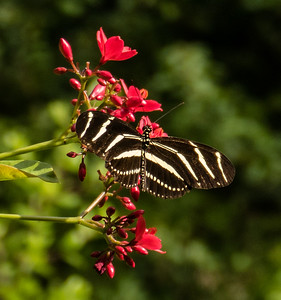 Zebra Longwing, Gumbo Limbo Nature Center, FL
