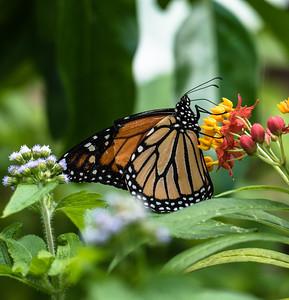 Monarch, Gumbo Limbo Nature Center, FL