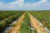 Fields of tomatoes near Homestead, Florida, USA.