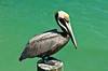 A brown pelican posing on a pole at the quaint historic fishing village of Johns Pass, Florida, USA.
