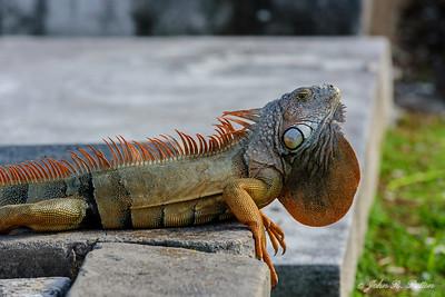 Iguana displaying