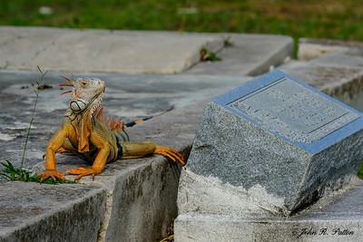 Cemetery iguana