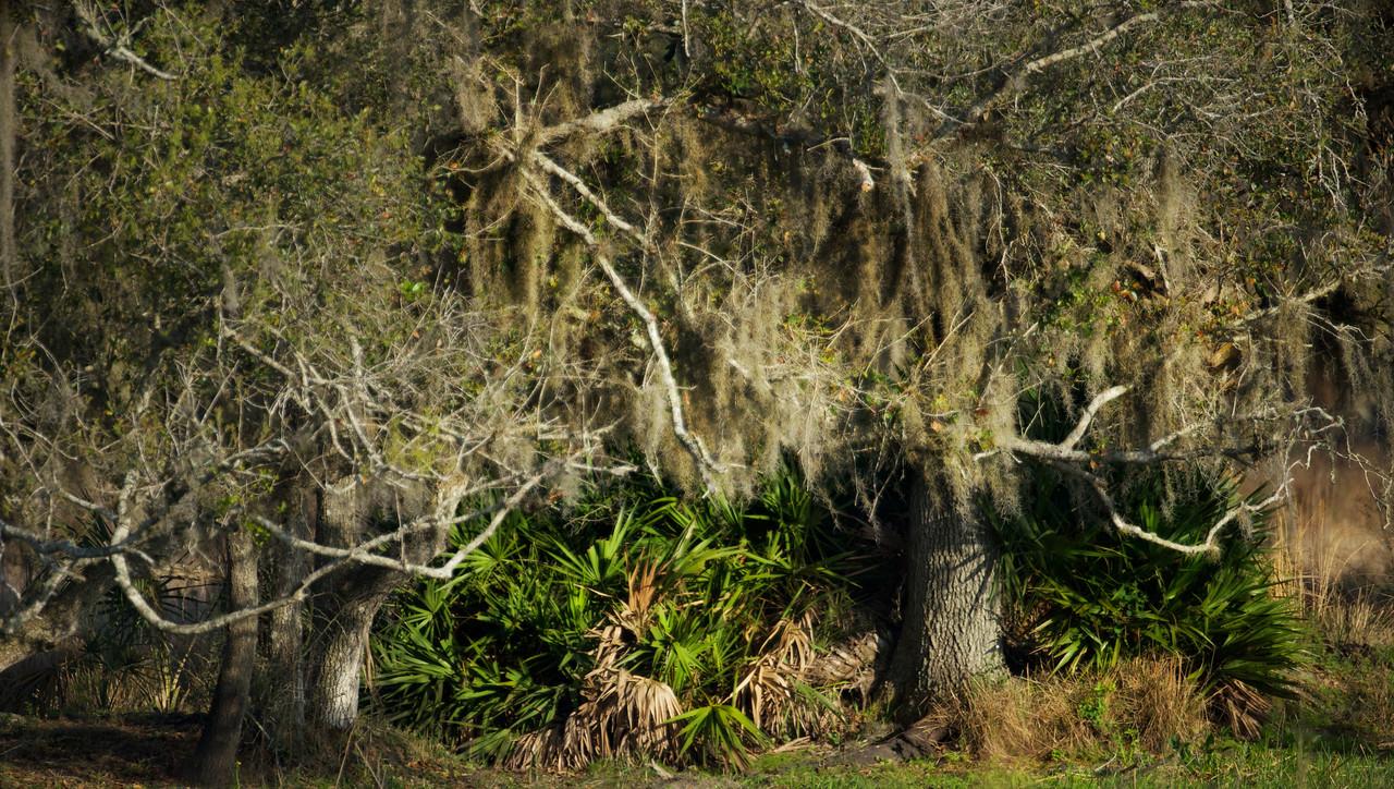 Spanish Moss and Palmetto