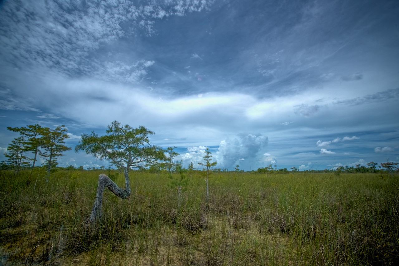 The 'N' tree Everglades National Park