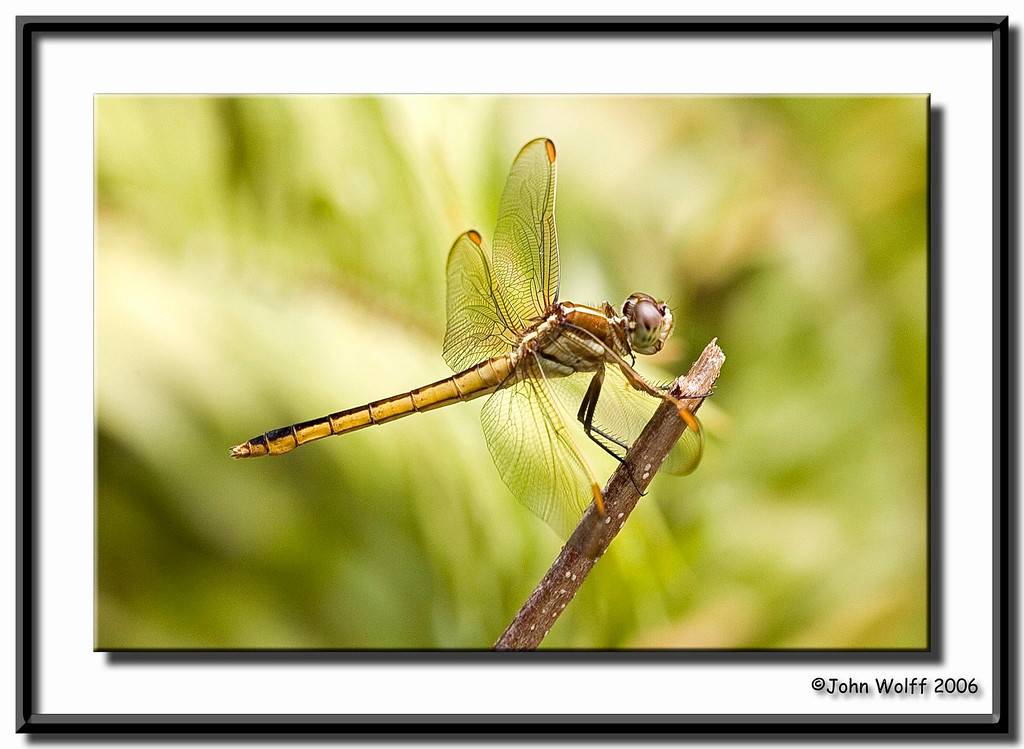 Needham Skimmer female