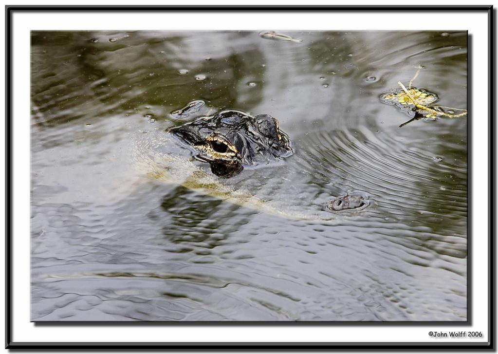 Alligator staring back at me