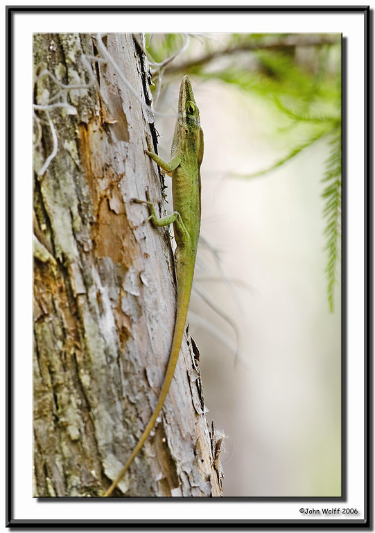 Green Lizzard