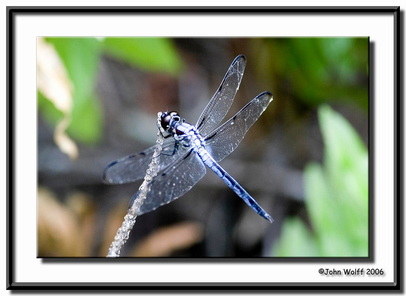 Bar-Winged Skimmer