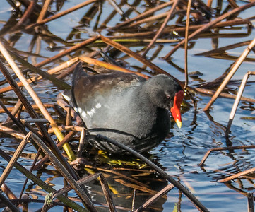 Common Gallinule (prev. Moorhen)