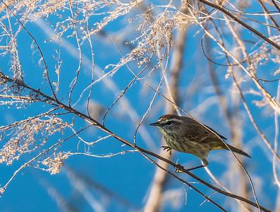 Palm Warbler, Loxahatchee NWR, FL