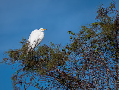 Great Egret, Loxahatchee NWR, FL