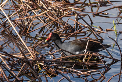 Common Gallinule (prev. Moorhen), Loxahatchee NWR, FL