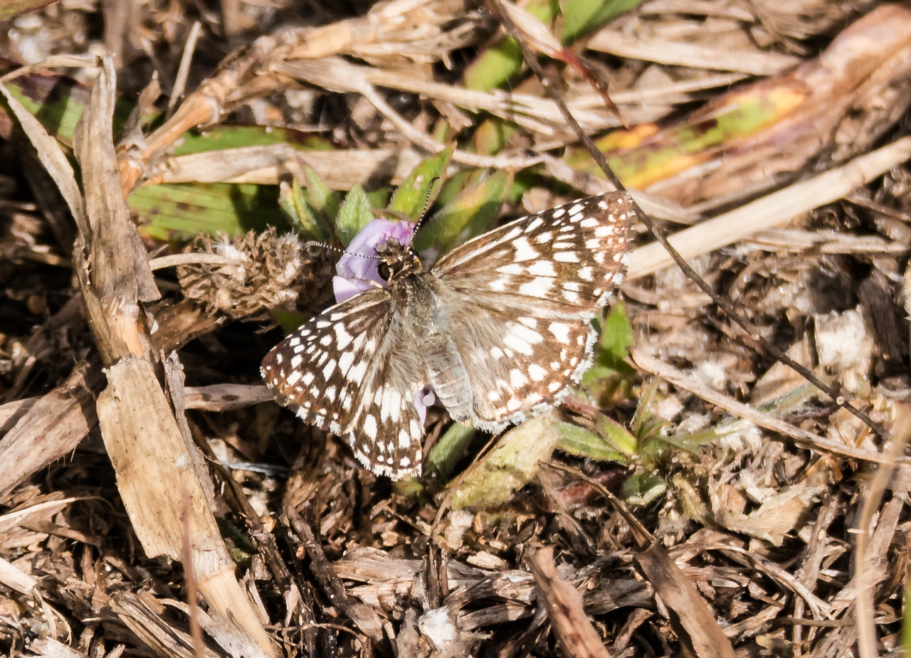 Common Checkered Skipper, Loxahatchee National Wildlife Refuge, FL