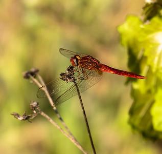 Scarlet Skimmer Dragonfly (male)