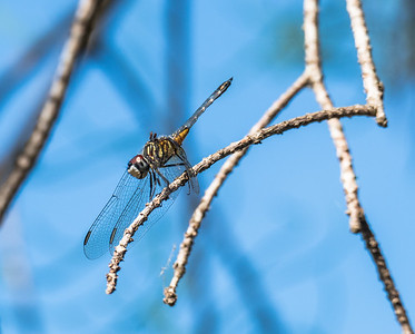 Blue Dasher (immature?), Loxahatchee National Wildlife Refuge, FL