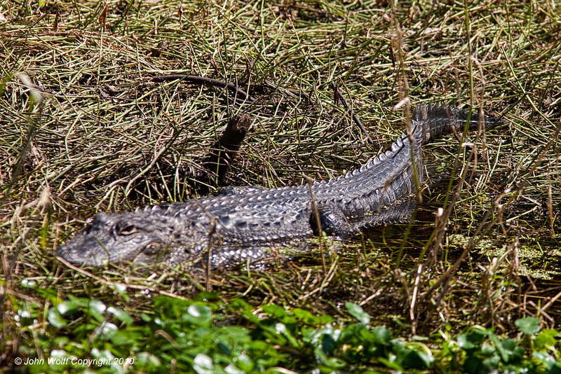 Alligator in the grass