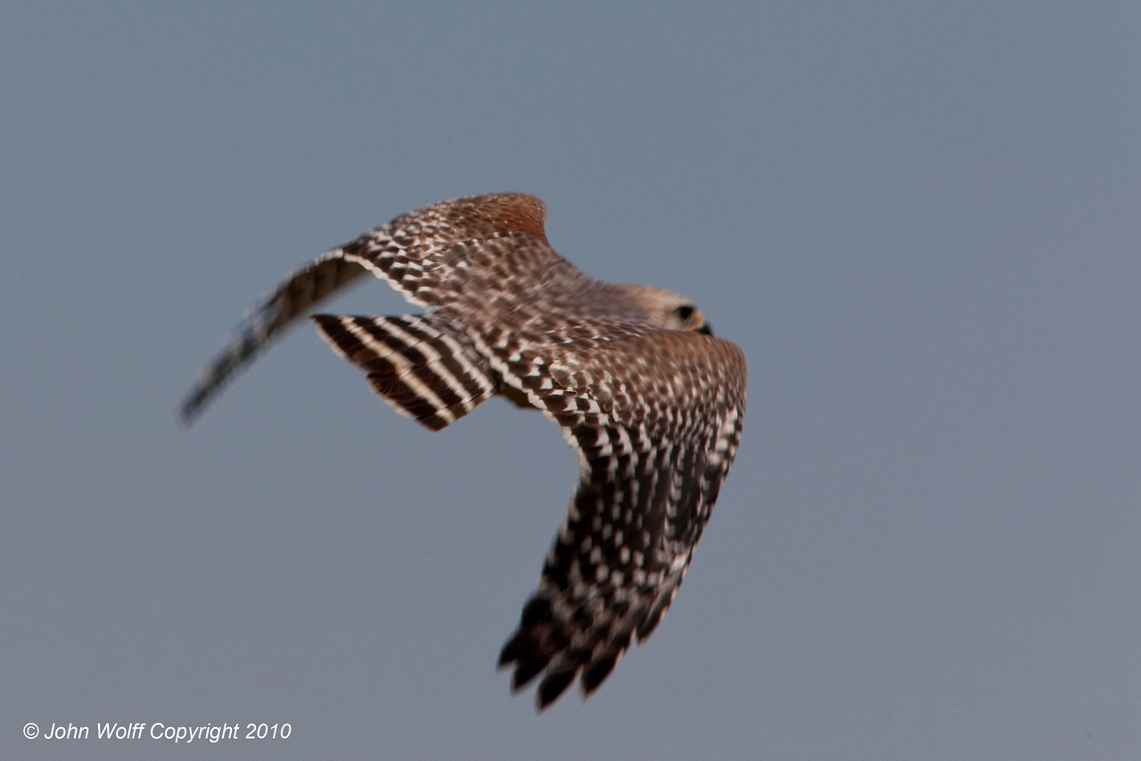 Red Shouldered Hawk in flight